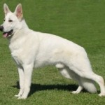 The White German Shepherd: Is it a Recognized Breed?