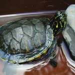 Do Not Keep Turtles as Pets; Report Explains Why