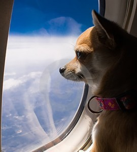 Horror stories of pets and airlines all pet news for Best airline to fly dogs