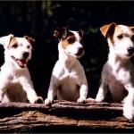 3 Terriers