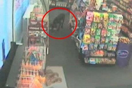 Shoplifting Dog