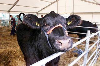 livestock abuse