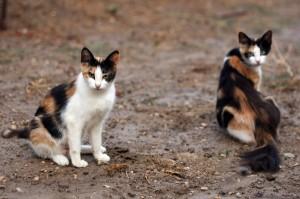 feral vs domestic cats