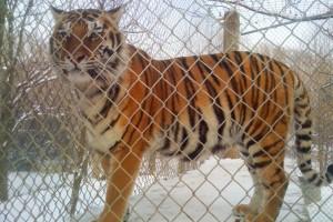 exotic pets tiger