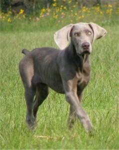 dog breeds for running
