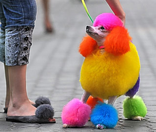 Multi colored poodle dog