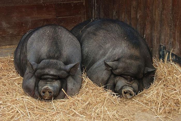 pet pig
