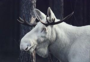 white moose