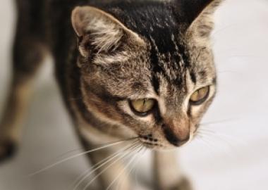 feline diseases